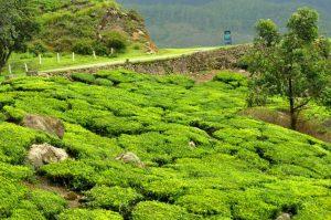 Tea Garden - Navbharat Tours